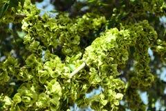 Jeune feuillage vert sur une branche d'arbre Photo libre de droits