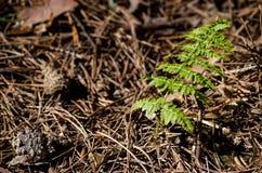 Jeune feuille de fougère dans la forêt Photos stock