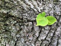 Jeune feuille verte sur l'écorce d'un vieux tilleul photos stock