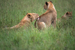 Jeune fierté de lion, Serengeti, Tanzanie, Afrique Photos stock