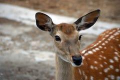 Jeune fin de cerfs communs  Image libre de droits