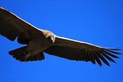 Jeune fin femelle de vol de condor andin Photographie stock