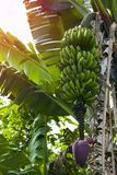 Jeune fleur de banane Photos stock