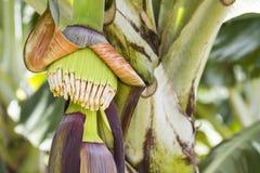 Jeune fleur de banane image libre de droits