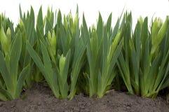Jeune fleur de bourgeon de l'iris Images stock