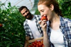 Jeune fonctionnement de sourire de travailleuse d'agriculture, moissonnant des tomates en serre chaude photographie stock libre de droits