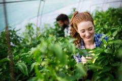 Jeune fonctionnement de sourire de travailleuse d'agriculture, moissonnant des tomates en serre chaude photo stock