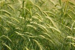 Jeune fond de blé Photo libre de droits