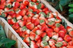 Jeune fond de fraise Photos stock