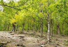 Jeune forêt de montagne de Vierge Images libres de droits