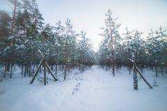 Jeune forêt de pin images stock