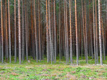 Jeune forêt de pin images libres de droits
