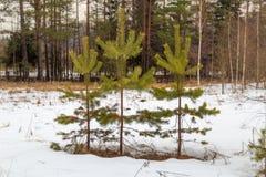 Jeune forêt de pin au printemps parmi la neige Photographie stock