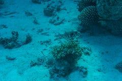 Jeune formation de récif coralien sur le fond marin arénacé Vue de perspective bleue profonde de mer avec de l'eau propre et la l Photographie stock