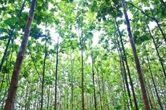 Jeune forêt de teck Photographie stock