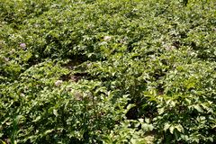 Jeune, forte, saine plante de pomme de terre Photo libre de droits