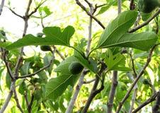 Jeune fruit de figue Image stock