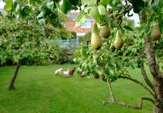 Jeune fruit de poire vu sur un verger privé, ainsi qu'un troupeau des poulets à l'arrière-plan Image stock