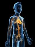 Jeune garçon - le système vasculaire Photo libre de droits