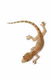 Jeune Gecko photo stock