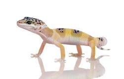 Jeune gecko de léopard - macularius d'Eublepharis photographie stock libre de droits