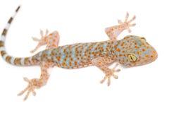 Jeune gecko sur le mur photos stock