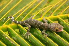 Jeune gecko tokay sur une feuille de palmier, Ang Thong National Marine photographie stock
