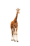 Jeune girafe Photographie stock