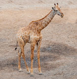 Jeune girafe dans le zoo Images libres de droits