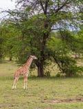 Jeune girafe sauvage Image stock