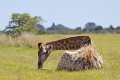 Jeune giraffe Image libre de droits