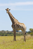 Jeune giraffe Photo stock