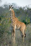 Jeune giraffe Images libres de droits
