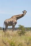 Jeune giraffe mâle Photos stock