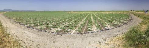 Jeune gisement de pastèque, Estrémadure, Espagne Images libres de droits