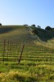 Jeune gisement de vin Photographie stock libre de droits