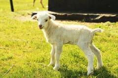 Jeune goatling Photo stock