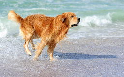 Jeune golden retriever Photos libres de droits