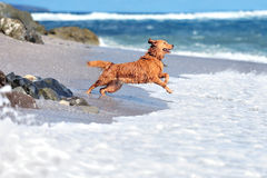 Jeune golden retriever Photographie stock libre de droits