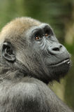Jeune gorille Photographie stock