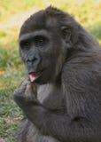 Jeune gorille Image libre de droits