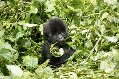 Jeune gorille de montagne Photographie stock libre de droits