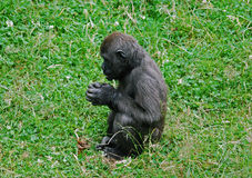 Jeune gorille de silverback Images stock