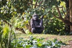 Jeune gorille mangeant une feuille photo libre de droits