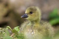 Jeune Gosling Images libres de droits
