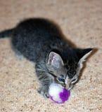 Jeune Grey Tabby Kitten aux cheveux courts Image libre de droits