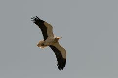 Jeune griffon glissant dans un ciel Photos stock
