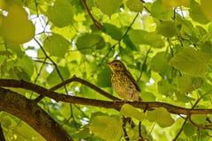 Jeune grive se reposant sur une branche de l'arbre Photographie stock libre de droits