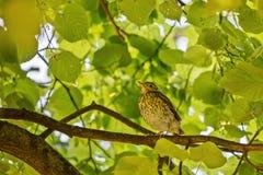 Jeune grive se reposant sur une branche de l'arbre Image stock
