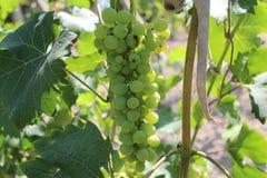 Jeune groupe vert de vin d'élevage de raisins Photographie stock